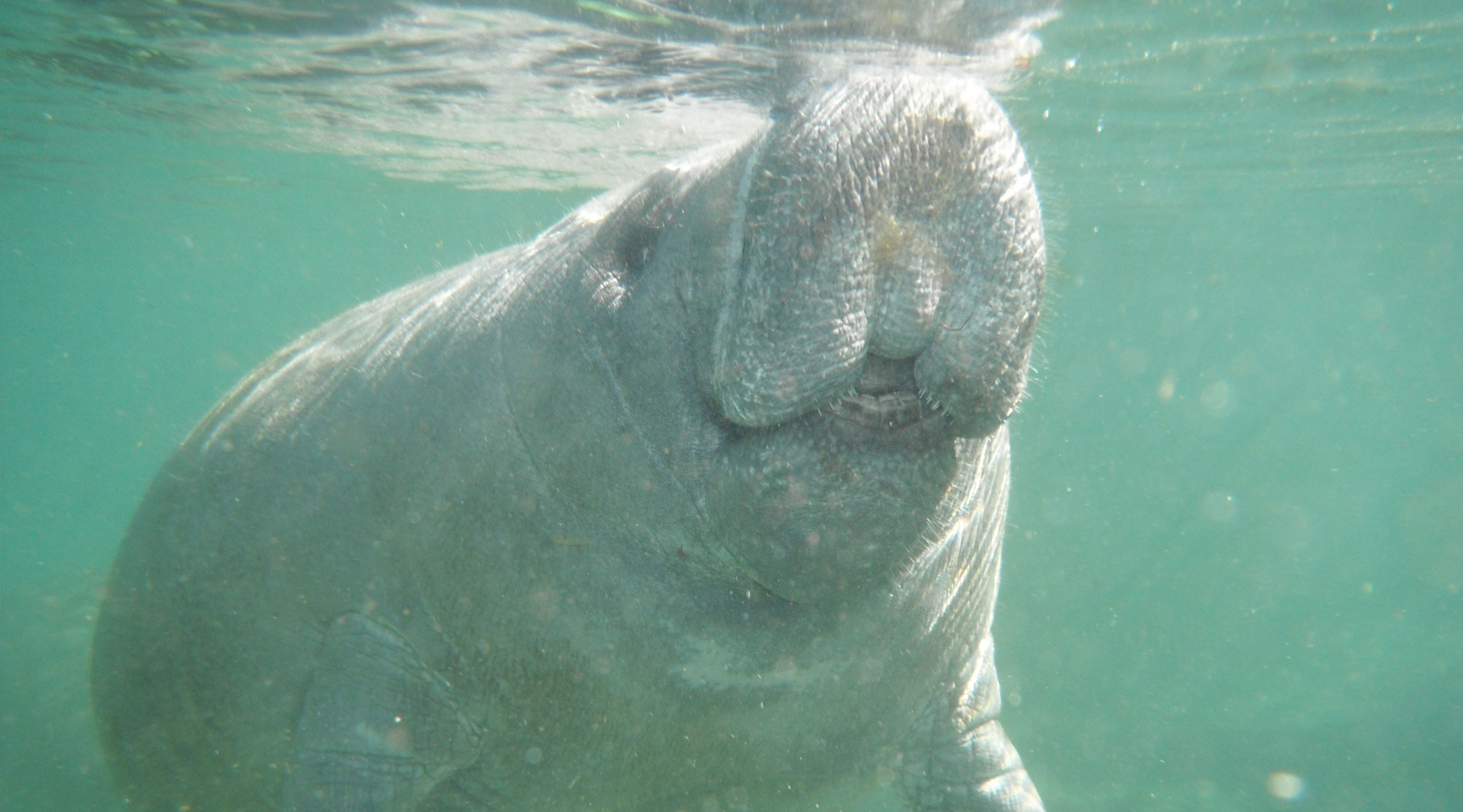 Groupon Swim With The Manatees - allspecialcoupons.com