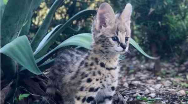 Serval Encounter: Book Any Time, Any Day