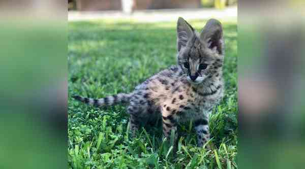 Hands-On Serval Encounter in Miami